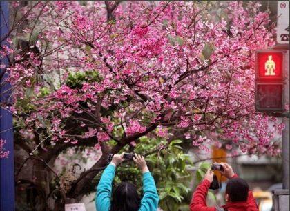 巷弄裡有個練過氣功的燒餅和一棵美麗的櫻花樹