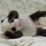 火紅小熊貓「圓仔」其實叫「李志偉」?