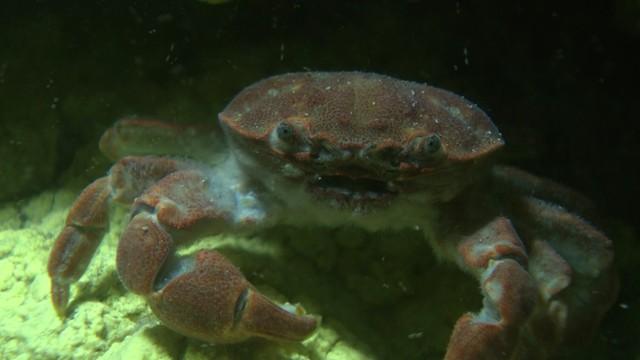 台灣才有的「烏龜怪方蟹」身世之謎!