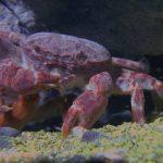 全球十分之一的螃蟹都住在臺灣!